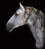 A lipicai ló